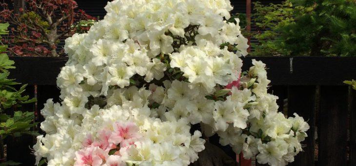Lidt blomstrende bonsai her i sommervarmen